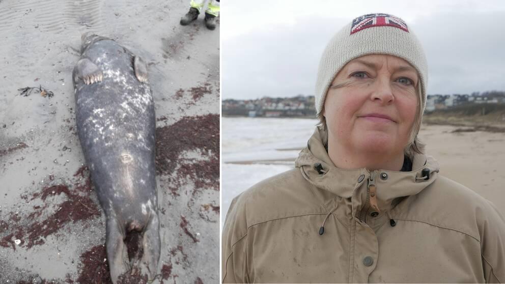 Till vänster bild på död gråsäl på Vejbystrand. Till höger bild på marinbiolog Kristin Johansson.