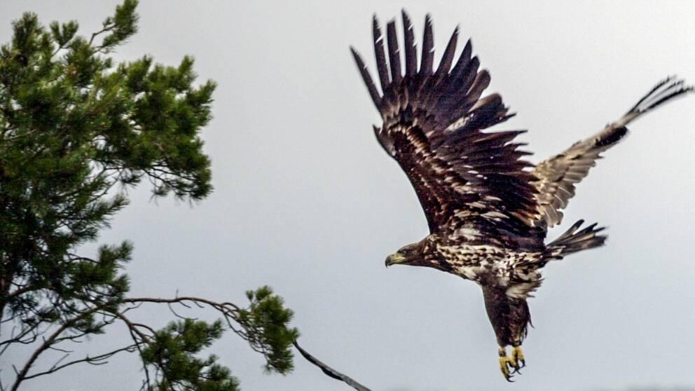 I klippet hänger vi med ornitologen Magnus Friberg när han räknar örnar vid Öby kulle.