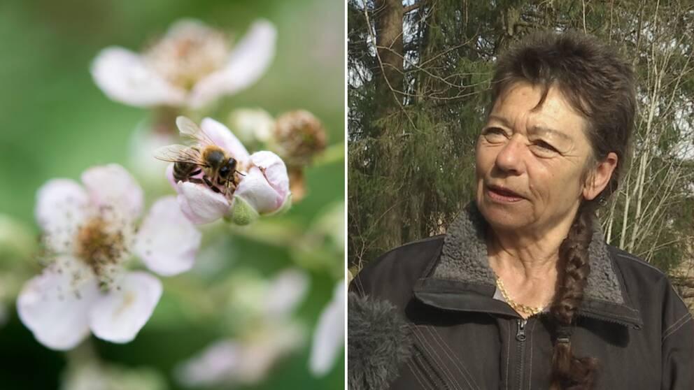 En geting på en blomma bredvid en bild på biodlaren Marianne Holm.