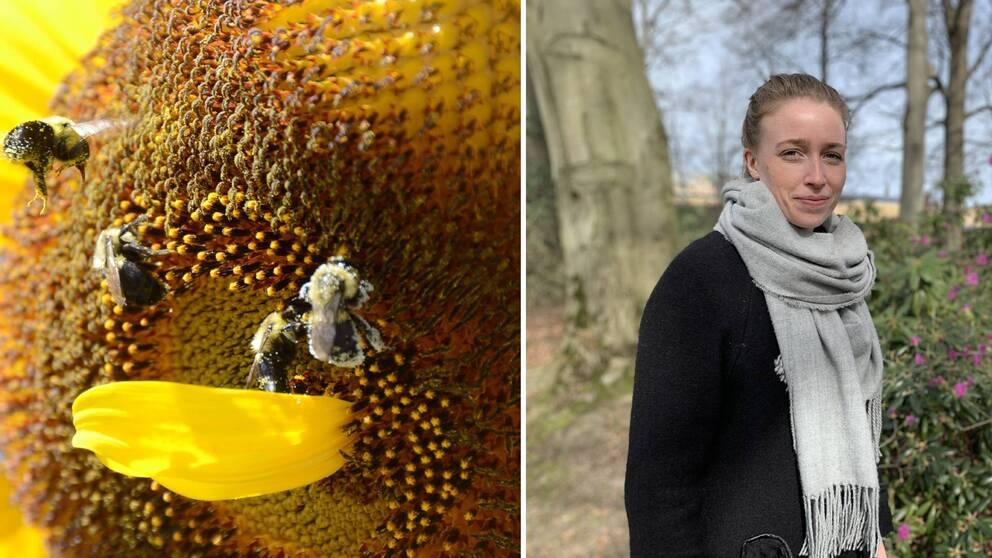Två bilder. Till vänster en närbild på en solros med fyra bin. Till höger Linnéa Skarped.
