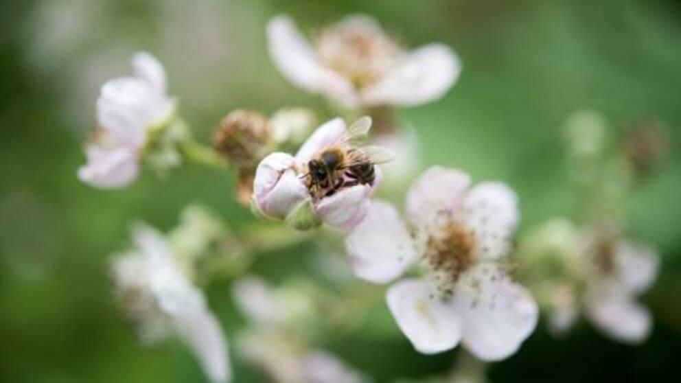 Ett bi i en blomma.