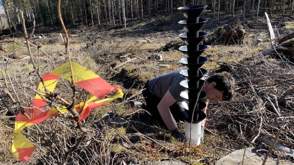Barkborrefällorna placeras ut i närheten av biotopskyddade granskogar.