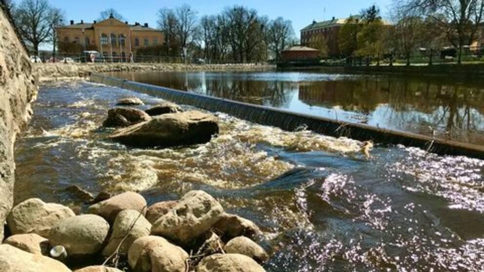 Faunapassagen i centrala Västerås- nu vandrar fisken upp i Svartån för första gången på 130 år.