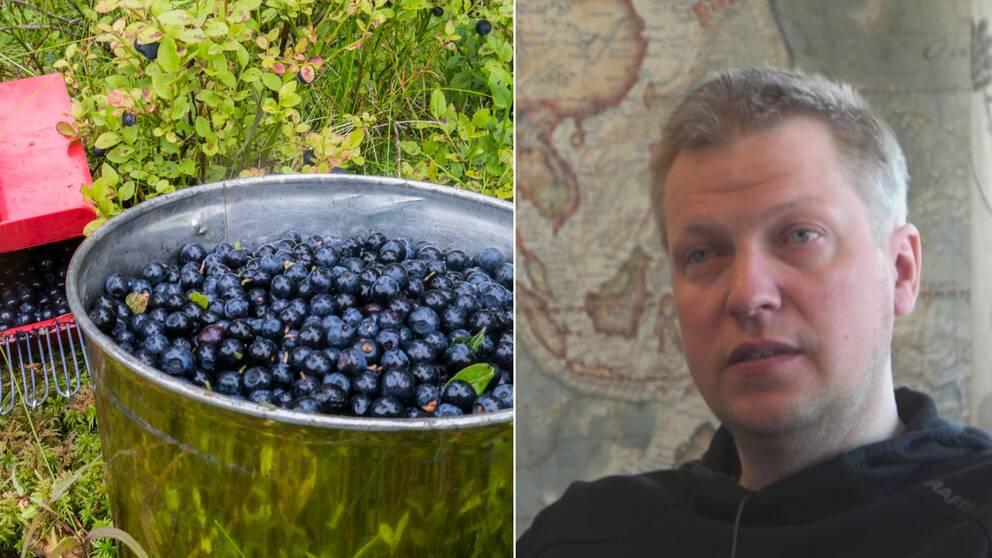 Kollage med blåbär till vänster och bärföretagaren Anders Vestin iklädd svart tröja till höger.