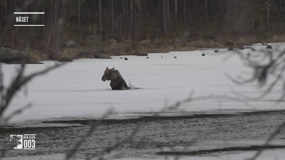 Älg som går genom isen.