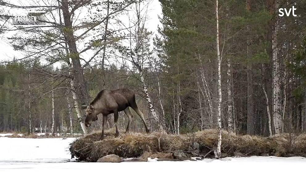 en älg står på en udde och kikar ner på isen