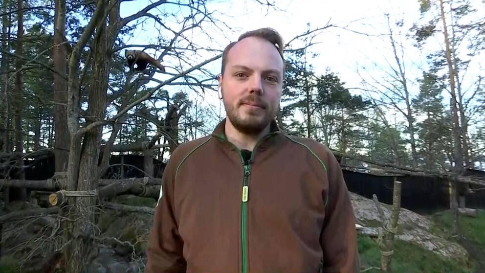 röd panda arjun ottilia kolmården Rickard Sjödén informationsansvarig
