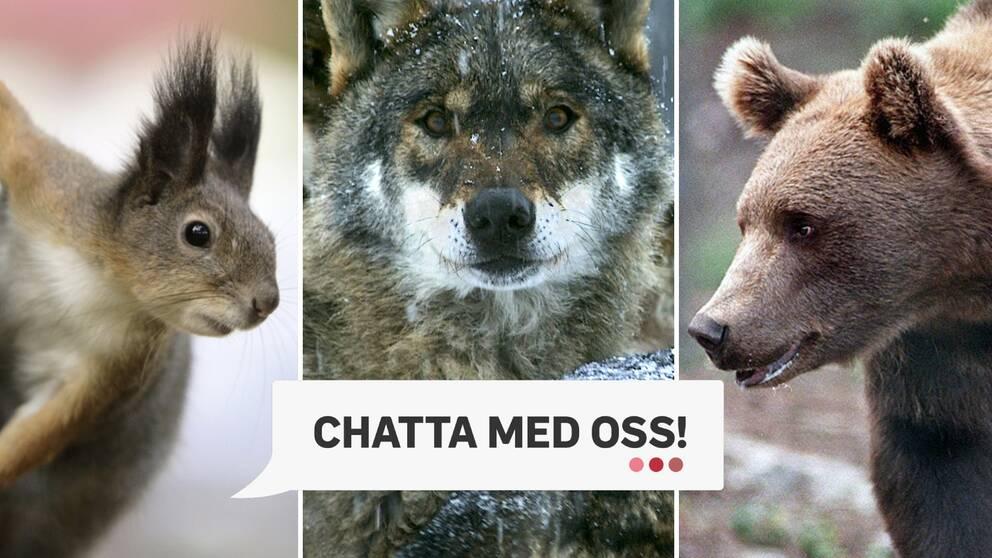 """tredelad bild: närbild på ekorre, varg och björn, och texten """"chatta med oss"""""""