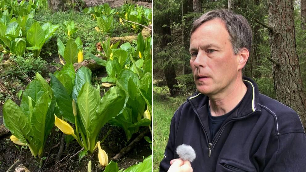 Gul skunkkalla är en av de invasiva arter i Värmland som måste utrotas, berättar naturvårdshandläggaren Dan Mangsbo. Hör mer i klippet ovan.