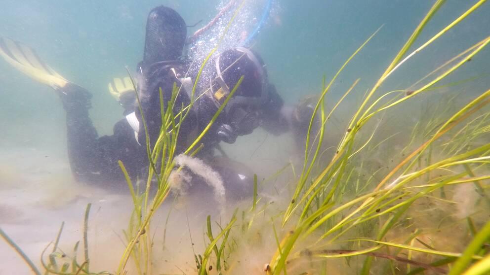 En dykare gräver upp ålgräs. Ålgräs i förgrund.