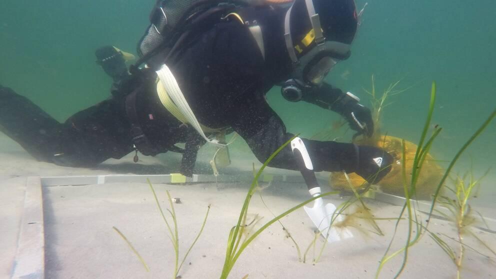 En dykare planterar ålgräs.