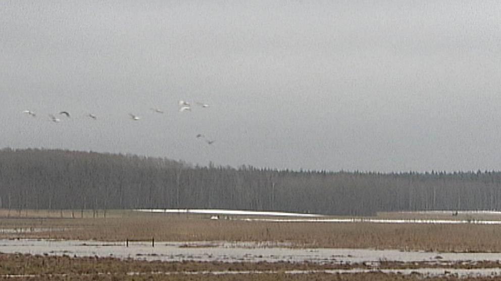 Sångsvanarna kom till sjön Tyssligen utanför Örebro i Närke den 19 februari, nära tre veckor tidigare än normalt.