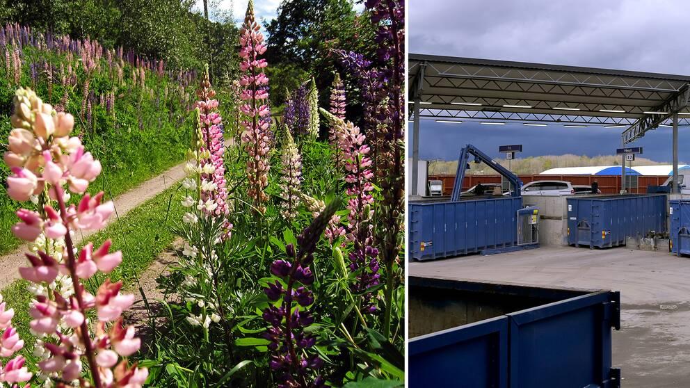 Lupiner som växer vilt till vänster och containrar på återvinningscentral till höger.