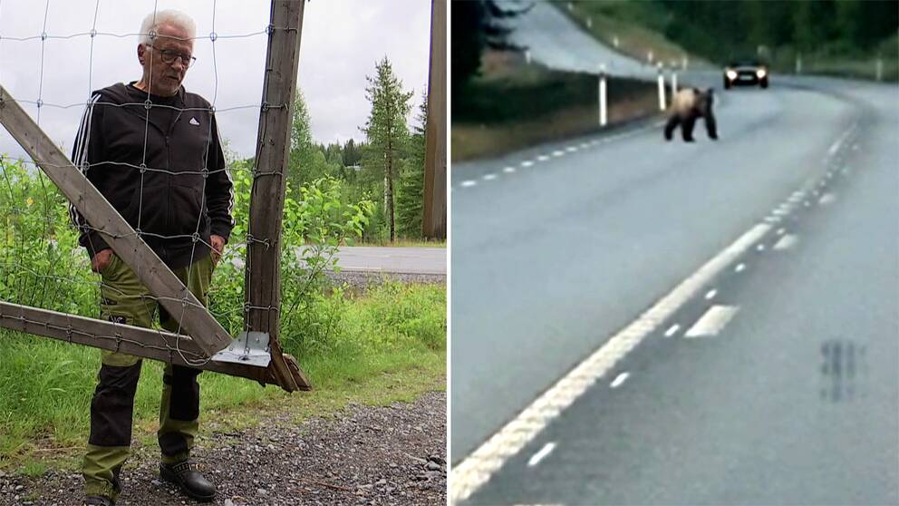 TVå bilder. Den ena visar en viltstängselgrind med en man som står bakom och den andra bilden visar en björn på en väg.