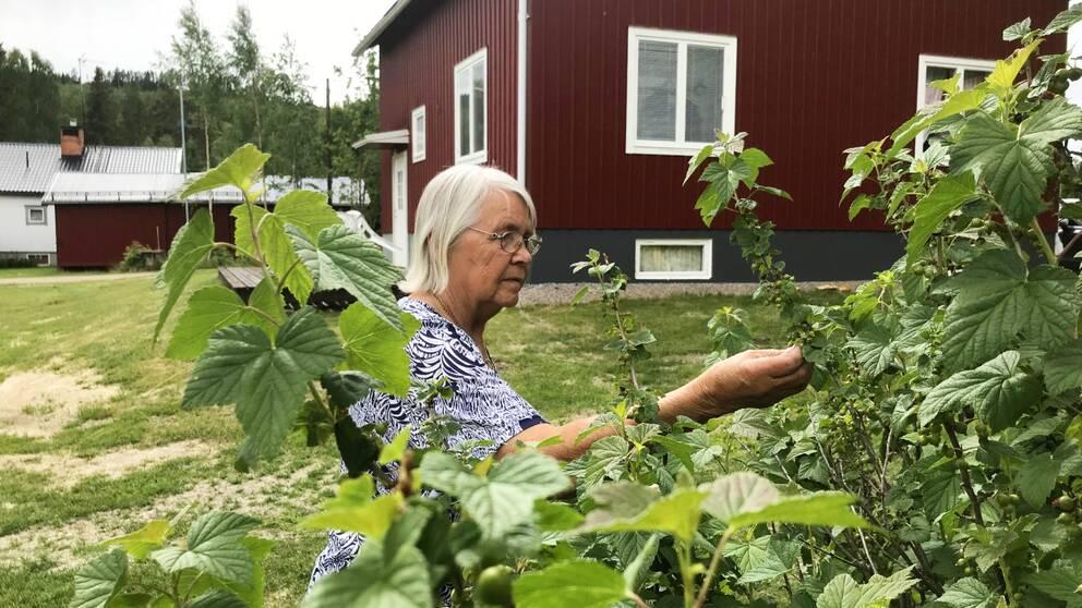 Astrid Ingegerd Gröning känner på några omogna svarta vinbär som växer från en buske.
