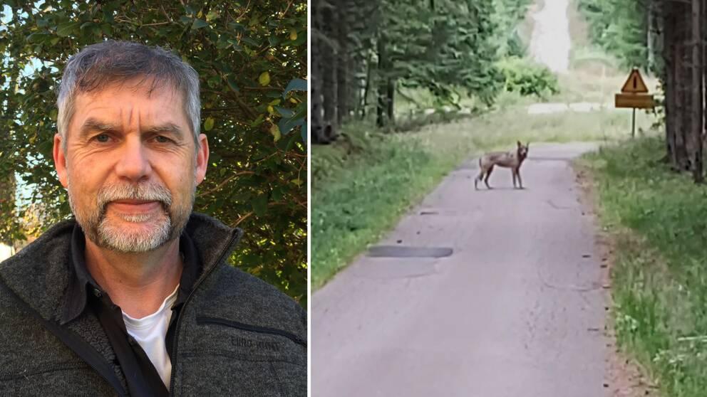 Martin Broberg är naturvårdshandläggare på Länsstyrelsen i Halland och vill gärna ha in alla observationer av vargen som går att få.