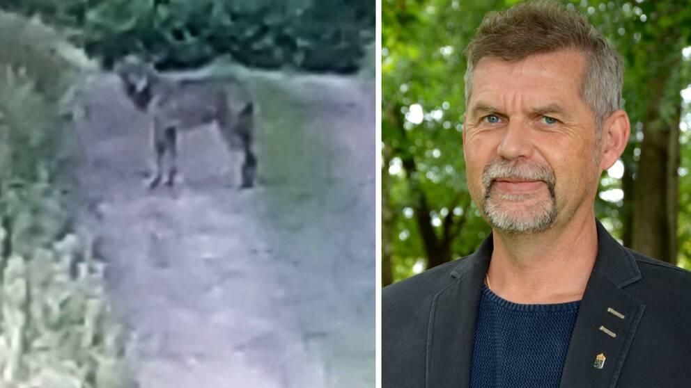 Den varg som vandrat till Halland från gränsen mellan Gävleborg och Dalarna har siktats igen.