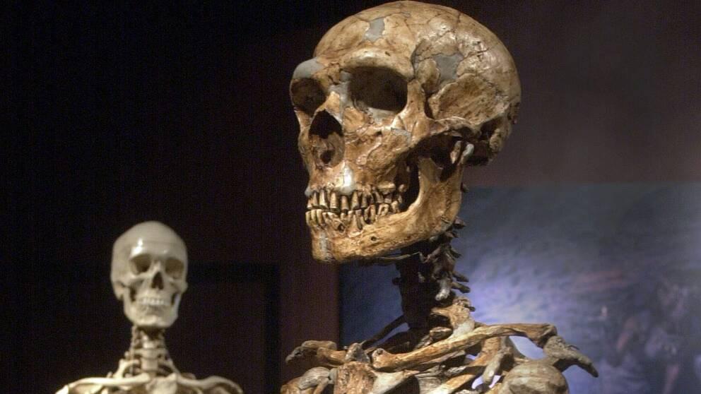 Skelett av neandertalmänniska, i förgrunden, och modern människa, i bakgrunden.