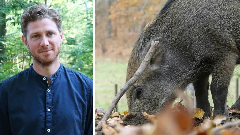 Jesper Einarsson, jaktvårdskonsulent och ett vildsvin