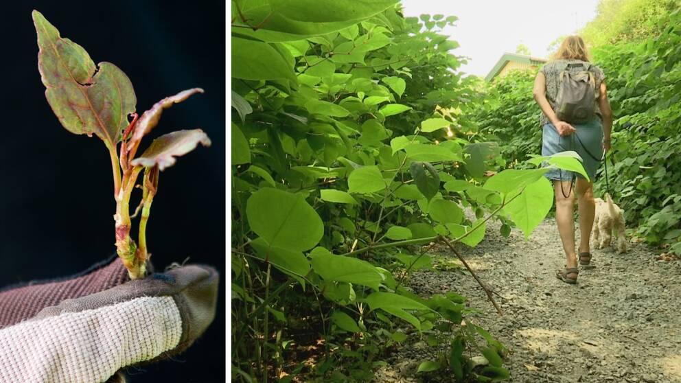 Mardrömsväxten parkslide (till vänster) hotar nu den anrika Botaniska trädgården i Göteborg