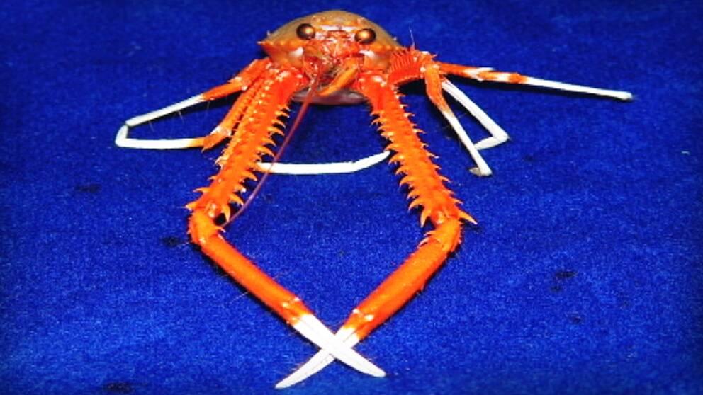 Den här krabban gillar mat som lyser i mörkret. Men den vet också vilka självlysande saker som är giftiga.