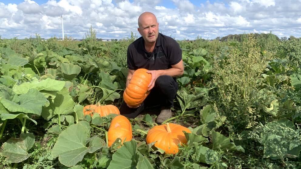 Odlaren Magnus Magnusson med några av sina drygt 30.000 pumpor på det sex hektar stora fältet.
