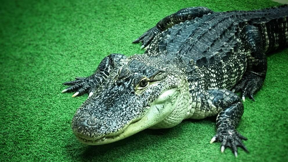 Stephan Reber och alligatorn Besla.