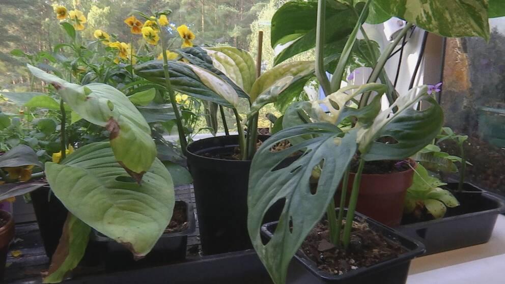 Flera blommor och plantor, bland annat den unika sticklingen längst till höger.