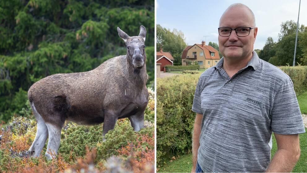 En älg i skogen och Bo Sjögren som en gång krockade med en älg.