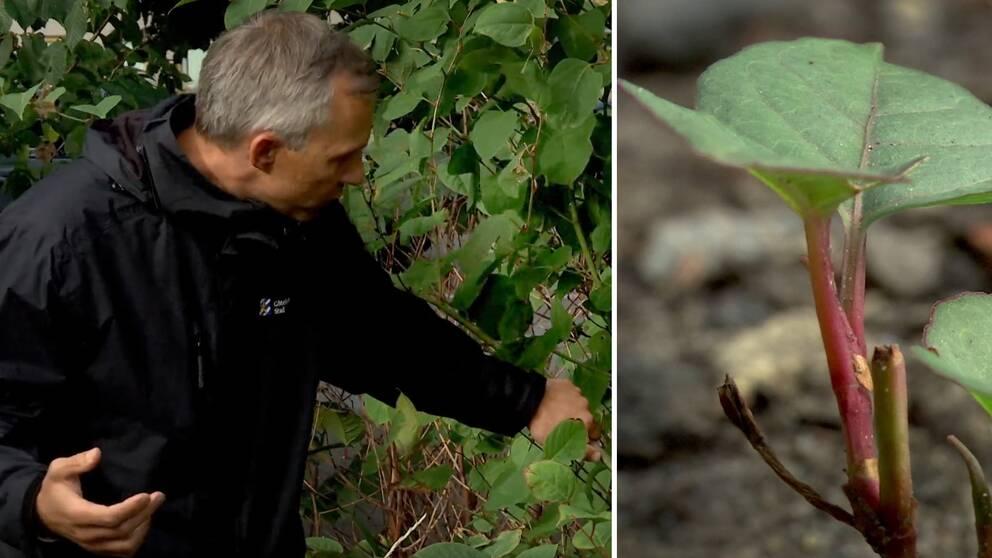 Starta klippet för att se Jeremy Mcclure på park -och naturförvaltningen i Göteborg visa hur du ska göra för att kontrollera om växten verkligen är parkslide