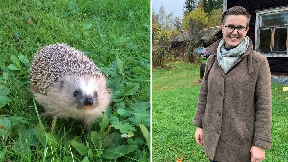 En igelkott på en gräsmatta och Ellen Andreason från Naturskyddsföreningen.