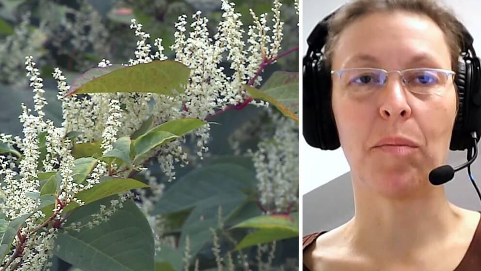 Närbild på växten parkslide samt en bild på Tina Kyrkander som intervjuas