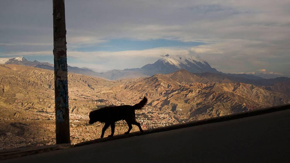 Gatuhund i Bolivia. I Sydamerika är man nära att vaccinera bort rabies från hundar.