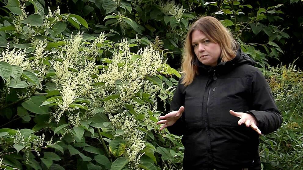 SVT:s reporter Sofia Netskar framför växten parkslide