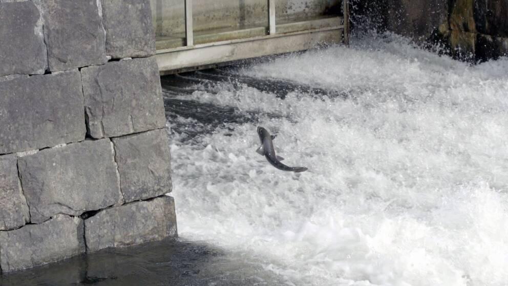 Lax försöker simma uppströms