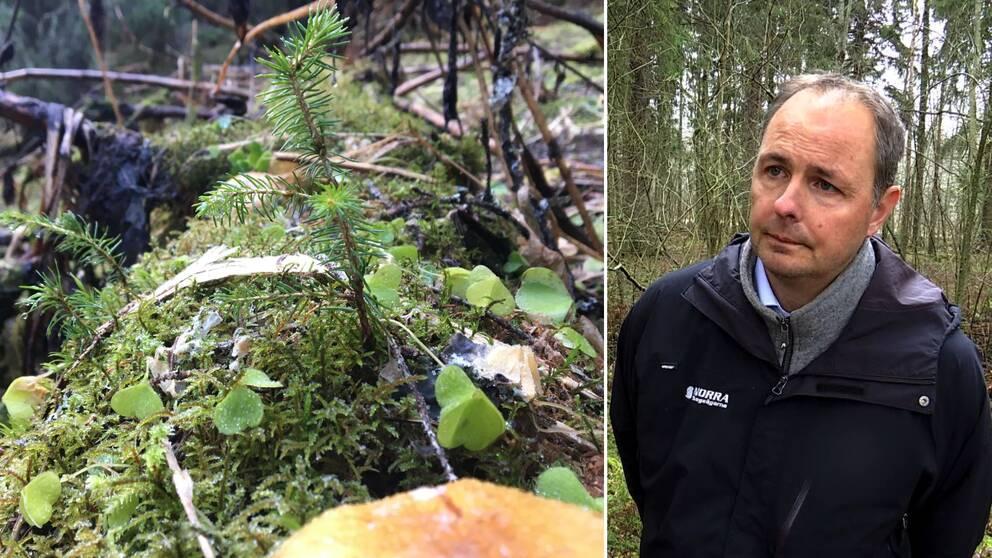 Dubbelbild. Till vänster en tät bild på en liten granplanta som växer på en mossbevuxen nedfallen trädstam. Till höger gråhårig man står i en skog och blir intervjuad. Han har en mörk jacka på sig.