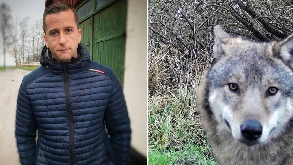 Daniel Karlsson, vargvittne, och vargen som sågs i Svedalatrakten