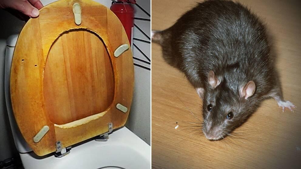 Toalettsitts söndergnagd av råtta