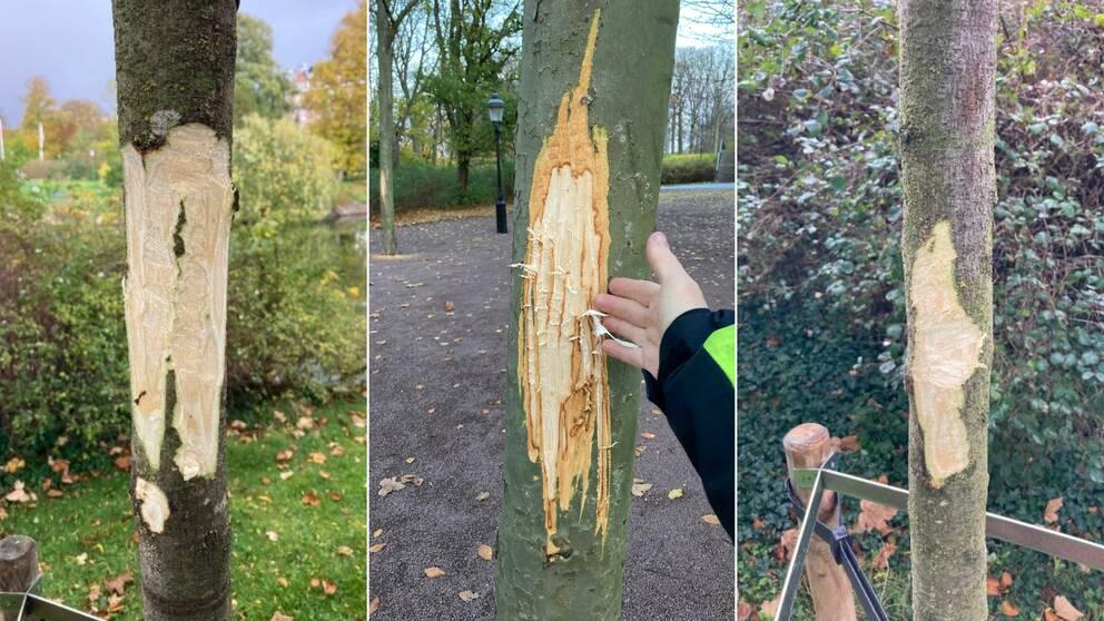 Tre av de vandaliserade träden som har fått skador på barken.