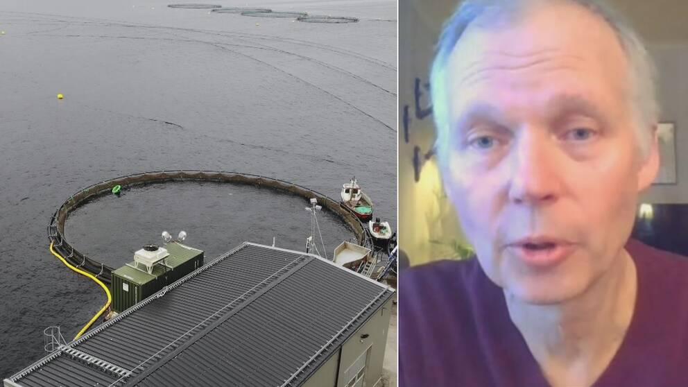 Dubbelbild. Till vänster flygbild över fiskodling. Till höger gråhårig man intervjuas via dator.