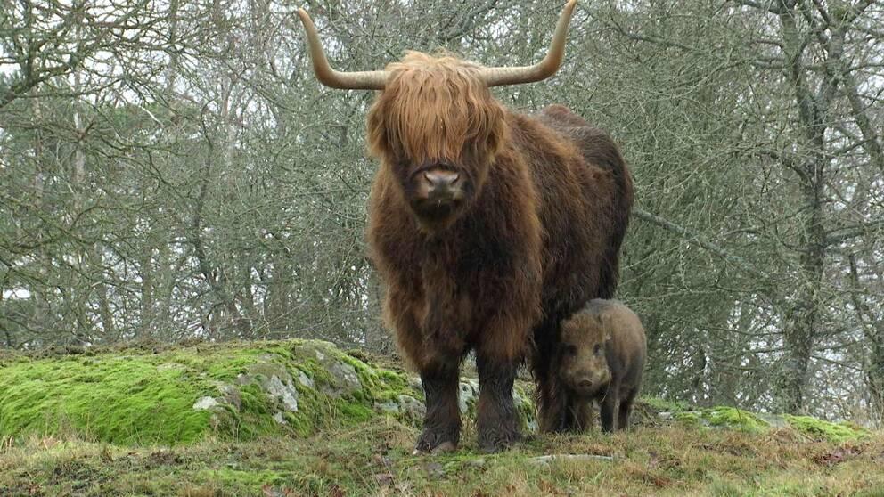 vildsvinskultingen Pumba och Maja