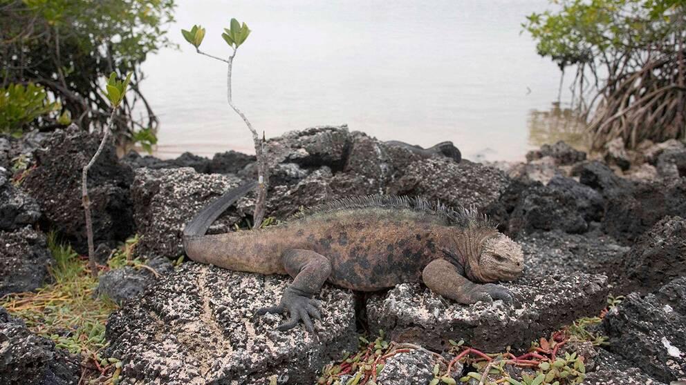 Ögruppen Galapágos i Stilla havet är en nationalpark med många speciella arter, bland dem havsleguanen Amblyrhynchus cristatus. Den som man nu oroar sig för är en ännu mer sällsynt landleguan som är rosa.