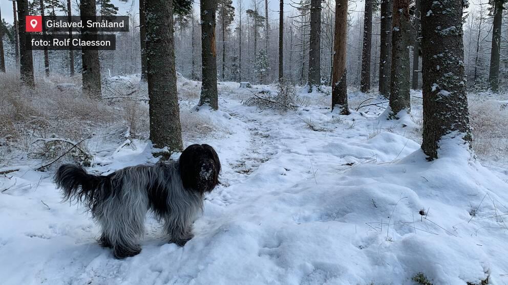 Skogspromenad i snön. Gislaved i Småland den 9 januari.