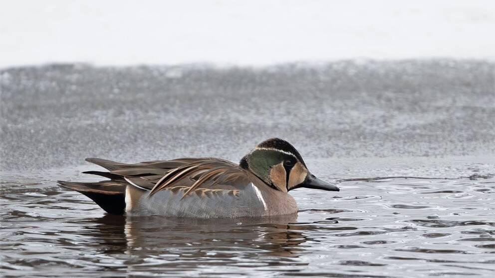 Den sällsynta fågeln fångades på bild av Bo Söderström.