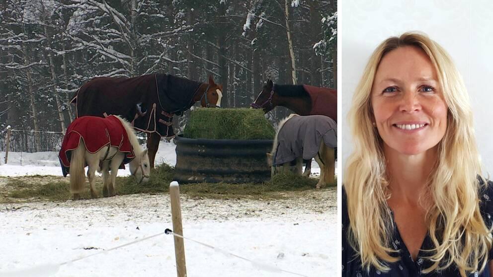 Hästar äter hö i en hage. Ann Reilly, ridskolerådgivare på Svenska Ridsportförbundet.