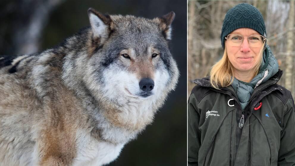 En varg tillsammans med en bild på viltvårdshandläggare Linda Andersson som står utomhus.