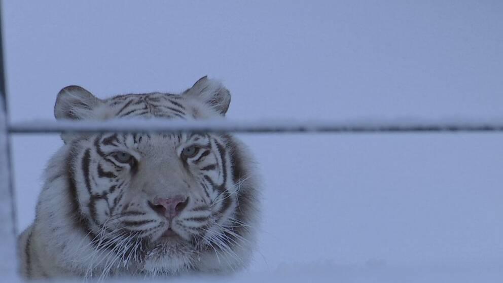 en vit tiger ute i snön