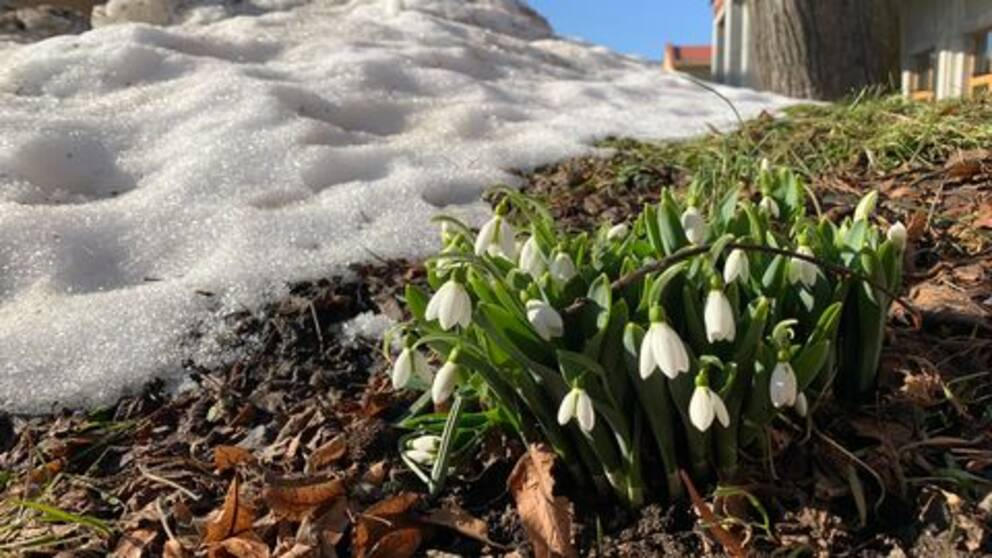 Vita blommor bredvid snö
