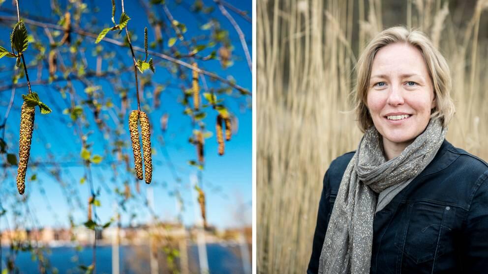 Björkhängen och pollenbiologen Agneta Ekebom på Naturhistoriska riksmuseet som sammanställer pollenprognoser.
