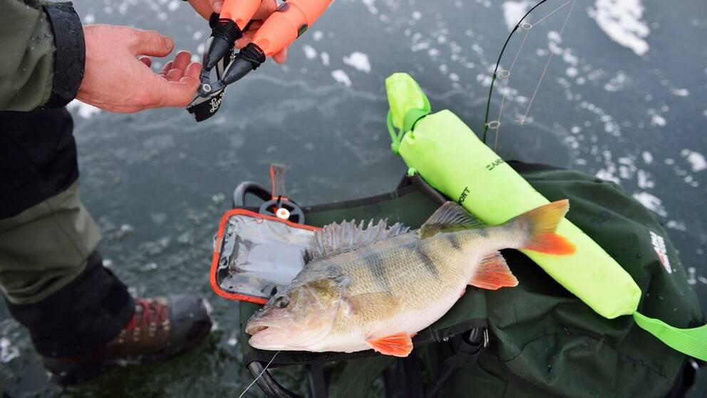 Isfiskare med abborre som ligger på en ryggsäck.